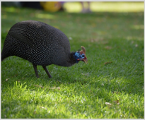 Investigation of the effect of  Tribulus terrestris extract on some characteristics of the reproductive capacity of guinea fowl