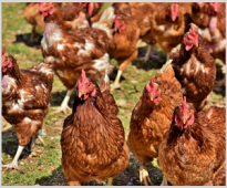 The effect of the addition of VemoZyme P to the compound feeds for broiler chickens