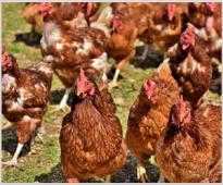 Ефект от добавката на VemoZyme Р към комбинираните фуражи за пилета бройлери