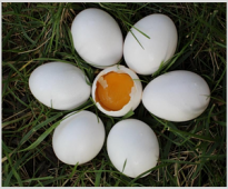 Establishing the impact of VemoHerb T on the morphological characteristics of the laying hens' eggs