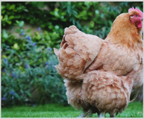 Investigating the effect of β-mannanase enzyme feed additive on broiler performance.