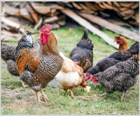 Testing the effect of the application of VemoZyme F NTP /super dose of phytase/ to the compound feeds for broiler chickens