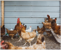 Effect of application of VemoHerb T in broiler parents flocks