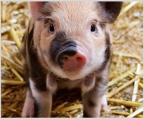 The Effect of Applying Herbal Extracts on The Performance of Male and Female Castrated Pigs