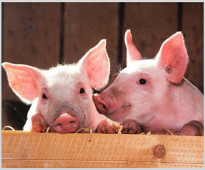 Pig News