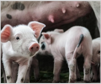 The Effect of Applying Herbal Extracts on The Performance of Starter and Grower Pigs