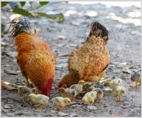 The effect of tribulus terrestris extract on egg yolk lipids and serum cholesterol content in guinea fowls