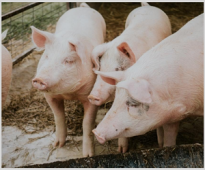 Effect of phytase on phosphorous digestibility in pigs