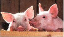 Ефект от добавката на Вемозим в смеските с повишено съдържание на влакнини върху кланичните показатели на угоявани прасета